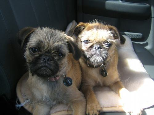 These Brussels Griffon  Pug  Brussels Griffon And Pug Mix