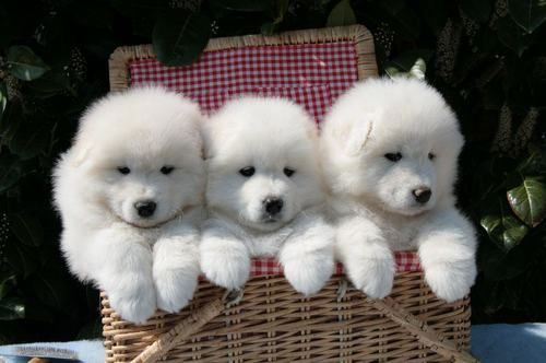 Samoyed Dog Family